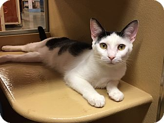 Domestic Shorthair Kitten for adoption in Statesville, North Carolina - Patrick