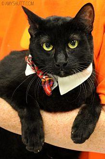 Domestic Shorthair Cat for adoption in Baton Rouge, Louisiana - Dinero