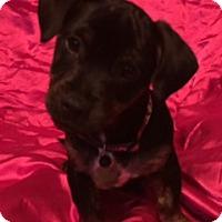 Adopt A Pet :: Duke - Santa Monica, CA