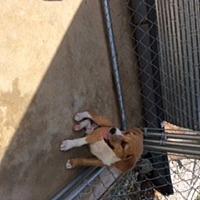 Adopt A Pet :: Little Man - Melbourne, AR