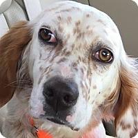 Adopt A Pet :: BONNIE - Pine Grove, PA