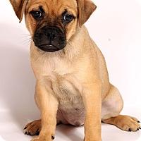 Adopt A Pet :: Patterson ToyFoxPug - St. Louis, MO