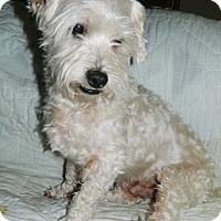 Maltese/Bichon Frise Mix Dog for adoption in Umatilla, Florida - Harry
