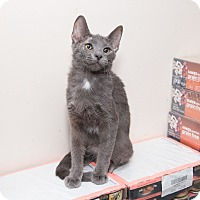 Russian Blue Cat for adoption in Chicago, Illinois - Lucas