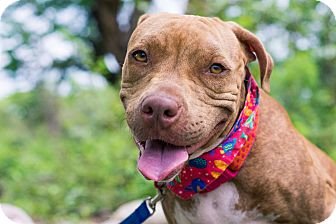 American Pit Bull Terrier Mix Dog for adoption in Nanaimo, British Columbia - Paz