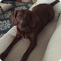 Adopt A Pet :: Bella - St Paul, MN