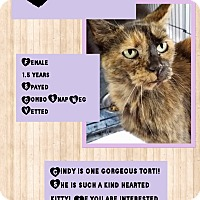 Domestic Mediumhair Cat for adoption in CLEVELAND, Ohio - Cindy
