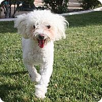 Adopt A Pet :: Maria - Henderson, NV