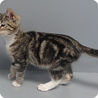 Domestic Shorthair Cat for adoption in Seguin, Texas - Nacoma