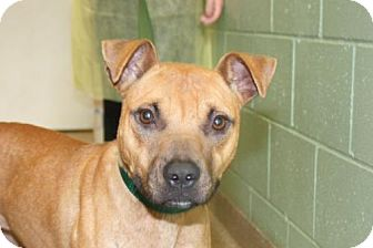 Labrador Retriever/Boxer Mix Dog for adoption in Salem, Massachusetts - Lydia