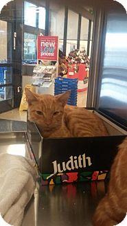 Domestic Shorthair Cat for adoption in Media, Pennsylvania - Butternut