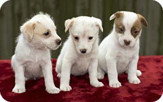 Jack Russell Terrier/Standard Schnauzer Mix Puppy for adoption in Alvin, Texas - Gertie's Girls-N