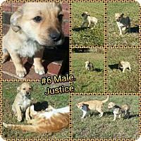 Adopt A Pet :: Justice-pending adoption - Manchester, CT