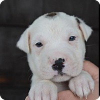Adopt A Pet :: Dotson - Danbury, CT