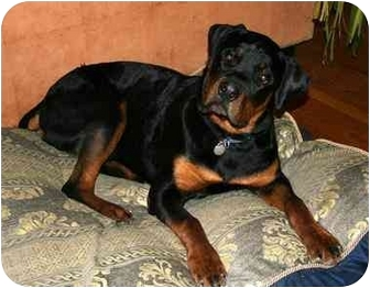 Rottweiler Dog for adoption in Chandler, Indiana - Tango