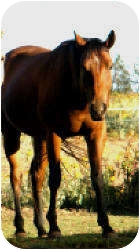 Thoroughbred/Quarterhorse Mix for adoption in Guthrie, Oklahoma - JR