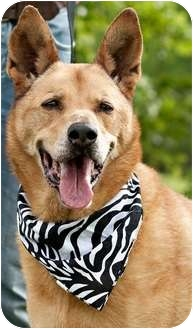 German Shepherd Dog Mix Dog for adoption in Portsmouth, Rhode Island - Buster w/video!