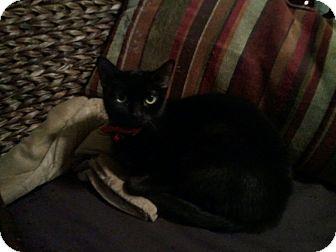 Domestic Shorthair Cat for adoption in Kansas City, Missouri - Billie Jean