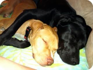 Labrador Retriever/Pointer Mix Dog for adoption in Santa Barbara, California - Lacey