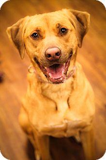 Labrador Retriever Mix Dog for adoption in Lake Odessa, Michigan - Star