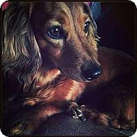 Adopt A Pet :: HARRY HOUDINI - Portland, OR