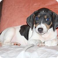 Adopt A Pet :: Zane - Knoxville, TN