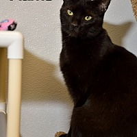 Domestic Shorthair Cat for adoption in Temple, Pennsylvania - Flicker & Flame
