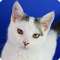 Adopt A Pet :: Admiral Mittens - Carencro, LA