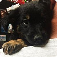 Adopt A Pet :: Beer Pup - I.P.A. - San Diego, CA