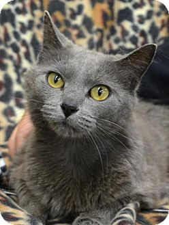 Domestic Shorthair Cat for adoption in Trenton, Missouri - Dora