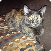 Domestic Shorthair Cat for adoption in Exton, Pennsylvania - Kylie (Foster)