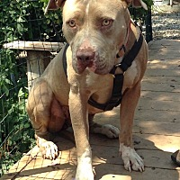 Adopt A Pet :: Ivy - Santa Ana, CA