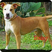 Adopt A Pet :: Daisy - Old Saybrook, CT