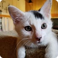 Domestic Shorthair Kitten for adoption in Yukon, Oklahoma - Brigot's Merlin