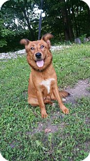 Golden Retriever/Shepherd (Unknown Type) Mix Dog for adoption in Marion, Indiana - Lu Lu