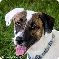 Adopt A Pet :: Bardot - Enfield, CT