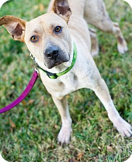 Pit Bull Terrier Mix Dog for adoption in Houston, Texas - Driver