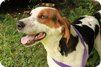 Treeing Walker Coonhound Mix Dog for adoption in Allentown, Pennsylvania - Jasper