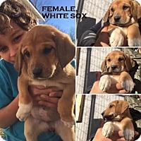 Adopt A Pet :: MISSOURI, COLUMBIA; PUPPIES! 7 GIRLS, 1 BOY - Little, Rock, AR