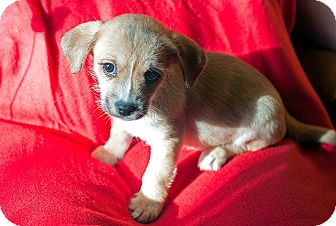 Chihuahua/Terrier (Unknown Type, Small) Mix Puppy for adoption in Fountain Valley, California - Jeanette