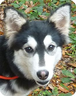 Siberian Husky/Sheltie, Shetland Sheepdog Mix Puppy for adoption in Inverness, Florida - Willow