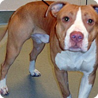 Pit Bull Terrier Mix Dog for adoption in Wildomar, California - Jed