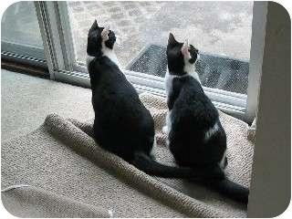 Domestic Shorthair Cat for adoption in Cincinnati, Ohio - Luke