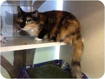Domestic Mediumhair Cat for adoption in New York, New York - Sassy