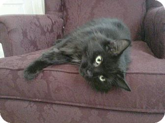 Domestic Longhair Cat for adoption in Bedford, Virginia - Joe