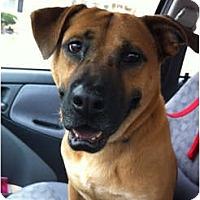 Adopt A Pet :: Bear - Alexandria, VA