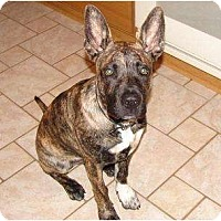 Adopt A Pet :: Kush - Belleville, MI