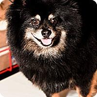 Adopt A Pet :: Gizmo - Bridgeton, MO