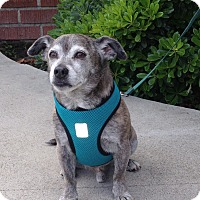 Chihuahua Mix Dog for adoption in Van Nuys, California - Oliver