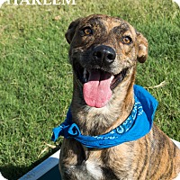 Adopt A Pet :: Harlem - Patterson, CA